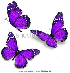 stock-photo-three-purple-monarch-butterfly-isolated-on-white-background-274174496.jpg (450×470)