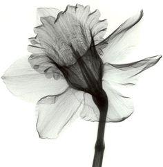 Xray Flower, Flower Art, Daffodil Flower, Daffodil Tattoo, Flower Tattoos, Narcissus Tattoo, Amazing Flowers, Pretty Flowers, Cover Up Tattoos
