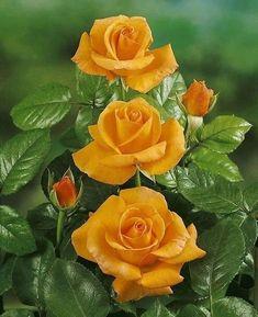Growing Roses - 5 Top Mistakes to Avoid Beautiful Flowers Wallpapers, Beautiful Rose Flowers, Exotic Flowers, Amazing Flowers, Pretty Flowers, Art Flowers, Orange Flowers, Yellow Flowers, Hybrid Tea Roses