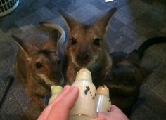 The line up at breakfast time - baby roos