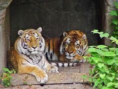 Sasha and Taiga lying by tigersareforever