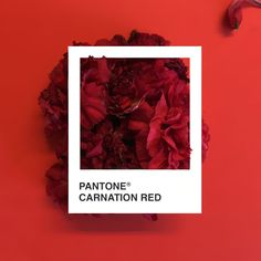 CarnationRed.jpg