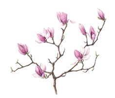 Ku-mie Kim « The Nature Artists' Guild Magnolia