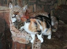 Linda the Lynx and Darling the calico, living as friends in the St. Petesburg Zoo <3
