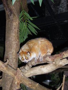 Bestand:Kleine plompe lori.jpg