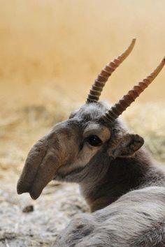 rare antelope | the rare and slightly pre-historic saiga antelope