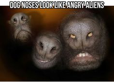 Dog noses look like angry aliens. I have no idea why this makes me laugh so hard. Haha It makes me laugh hysterically Judi! Scary Dogs, Funny Dogs, Funny Animals, Cute Animals, Animal Memes, Haha Funny, Funny Cute, Funny Memes, That's Hilarious