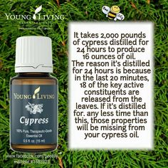 Young Living Essential Oils: Cypress Education Cypress Essential Oil, Yl Essential Oils, Young Living Essential Oils, Essential Oil Blends, Young Living Cypress, Young Living Oils, Young Living Release, Essential Oil Companies, Essentials