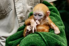 (*Baby primates are so cute (they can also be so naughty! -kmh*)