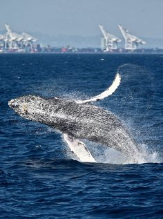 Humpback whale seemed eager for a close connection off Southern California coast - LA Times