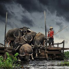 Swamp Buffalo Nagara, Hulu Sungai Selatan Kalimantan Selatan - #World