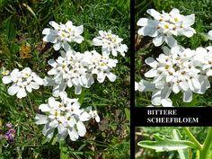Bittere Scheefbloem - Iberis amara. - Foto gemaakt door pinterester Adri v.d.S - Bord Wilde Witte bloemen - White wildflowers