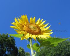 Sunflower and Honeyeybee No 2