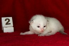 2014: Lightning A Zwollywood Cat. 2 Weeks old Ragdoll kitten, seal bicolour. Cars litter.