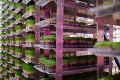 urban produce, indoor farm, vertical farm, organic, microgreens, wheatgrass, water scarcity, urban farming, food availability, food deserts, carbon footprint