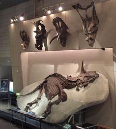 熊本遠征してます。 こんばんは、生田晴香です。 ミニサッカーしてきました。 天気が良い日に一日中外にいたら、日焼けして腕が真っ赤になってしまいました。 もう春から夏になろうとしていて紫外線が強い季節なので、遊ぶ時は室内で日差しや天気関係なく恐竜を見に行ける所が良いですね。 例えば、都内だと総合科学博物館である「国立科学博物館」などが特に良いですね。 そう、しかも! 国立科学博物館には、恐竜といえばこれだ!という人気で有名どころ、 ティラノサウルスとトリケラトプスの全身骨格が展示されているのです! トリケラトプスは大きいのが2つ展示されていて、横たわっているトリケラトプス(産状化石)はなんと! 世界一状態が良いトリケラトプスなんです。 もちろん、レプリカではなく本物です。 こちらは半身が風化でなくなったものの、埋もれていた半身がそのまんまキレイに残っていて、それが展示されているわけなん...