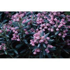 Modrzewnica pospolita BLUE ICE ,Andromeda polifolia Ice, Plants, Ice Cream, Plant, Planets