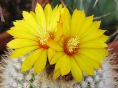 Пародия золотистоколючковая - Parodia aureispina, пародия фото