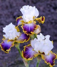 Gorgeous Irises