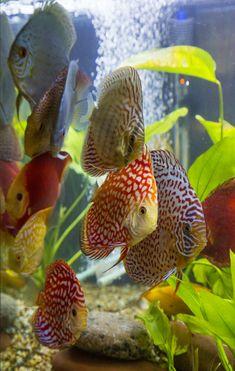 Group of Discus in my 75 gallon aquarium #TropicalFishFreshwater