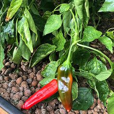 Red Peppers growing in our Climate Controlled Solar Greenhouse in the beginning of Winter 2020. They are sweet and delicioua, and we're putting them on just about everything like Turkey Burgers, Cauliflower Pizza, Stir Fries and more. Learn about Hydronic Heat tomorrow.