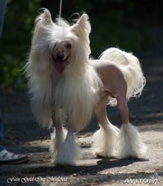 Image result for chinese crested dog mix