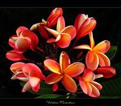 Hawaiian Flowers - The Plumeria Wailua Rainbow by mad plumerian, via Flickr