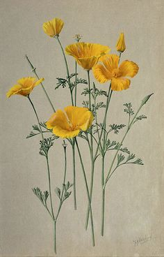 """San Diego California Poppy- Eschscholzia californica"" 1908-1918 by A. R. Valentien - Albert R. Valentien (1862-1925) American art pottery decorator and botanical artist. Watercolor San Diego Natural History Museum"