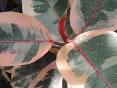 variegated leaves of rubber plant in the Exhibit Room of Lucile Halsell Conservatory