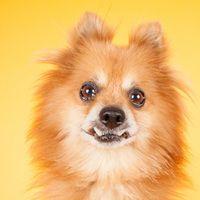 ADOPTED!!! Cute Muttville mutt: Pikachu 2644 (Pomeranian mix | Male | Size: small (6-20 lbs)) Age: 8 years