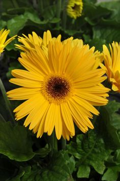 Gerberas, especially those with petals arranged in daisy-like rays, can add a burst of sunshine to your garden.
