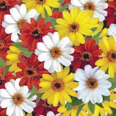 Profusion Sunrise Mix Zinnia