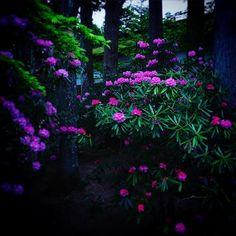 kongobuji #石楠花 #しゃくなげ #金剛峯寺 #高野山 #kongobuji #koyasan #rhododendron  2017/05/12 18:11:57