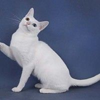 #dogalize Cat breeds: Khao Manee Cat characteristics and personality #dogs #cats #pets