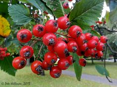 Swedish Whitebeam Sorbus x intermedia http://www.lightscapes.info/onewithnature/natures-garden/trees/swedish-whitebeam-sorbus-x-intermedia/