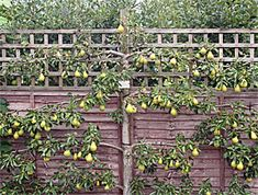 Espaliering fruit trees: How to Grow fruit trees along a wall or fence. Really nice ideas