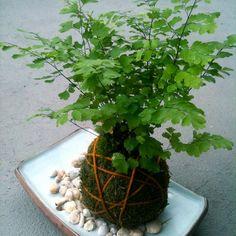 kokedam garden photos | Kokedama – Como fazer passo a passo - PlantaSonya - O seu blog sobre ...