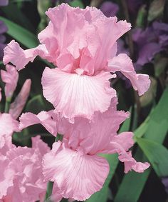 Look at this Beverly Sills Bearded Iris Root - Set of Two on #zulily today!