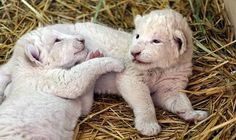 White lion cubs born Germany | Rare White Lion Cubs Born in Puebla Zoo