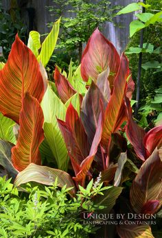 Tropicanna Canna mixed with Bengal Tiger Canna - this is what i want around my patio! Tropical Backyard, Backyard Pool Landscaping, Tropical Landscaping, Tropical Plants, Garden Oasis, Lawn And Garden, Garden Bulbs, Garden Plants, Canna Flower