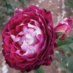 """ Belle de Segosa (MASsego) - Shrub rose - Fuchsia/magenta, white edges - Strong fragrance - Dominique Massad (France), 2013"