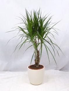 efeutute b ropflanzen pinterest pflanzen gr npflanzen und zimmerpflanzen. Black Bedroom Furniture Sets. Home Design Ideas