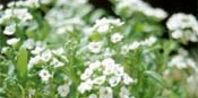How to Grow Sweet Alyssum From Seeds Indoors | eHow
