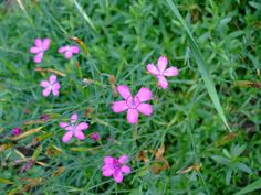 Second Silver - Maiden Pink, Dianthus deltoides, seeds Spring Plants, Spring Garden, Seeds, Flowers, Silver, Royal Icing Flowers, Flower, Florals