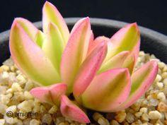 Crassula americana cv.flame f.variegata 火祭の光