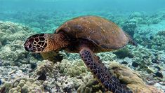 Green turtle swimming over coral reefs in Kona. Coral Reef Animals, Sea Turtle Species, Animal Quiz, Loggerhead Turtle, Turtle Swimming, Pet Turtle, Green Turtle, Sea Monsters, Great Barrier Reef
