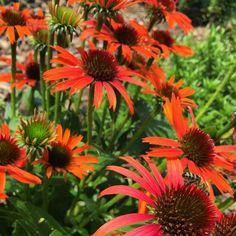 Sonnenhut Orange Skipper großer Topf Echinacea purpurea