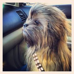 Chewbacca Dog Oh my gosh, This is hilarious. Looks just tike Chewbacca. Dog Pictures, Animal Pictures, Funny Pictures, Dog Photos, Wall Photos, Funny Animals, Cute Animals, Animals Dog, Animals Beautiful