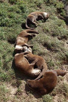 Snuggle otters