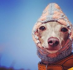 Beanie for a very cold Iggy • Italian Greyhounds • puppies|dog|love|pets